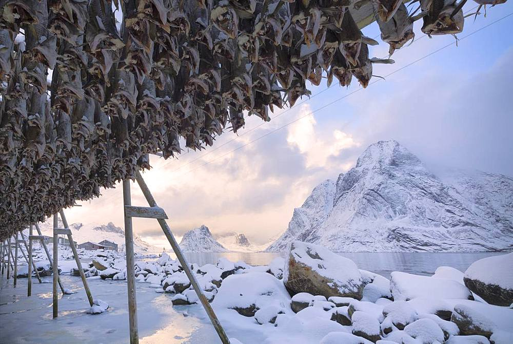 Stockfish on wood racks, Reine Bay, Lofoten Islands, Nordland, Norway, Europe