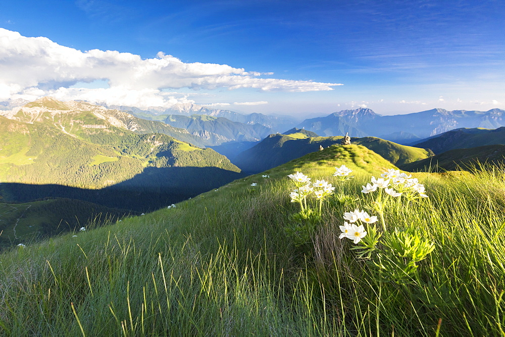 Wild flowers on crest towards Monte Azzarini with Bergamo Orobie Alps in the background, San Marco Pass, Lombardy, Italy, Europe
