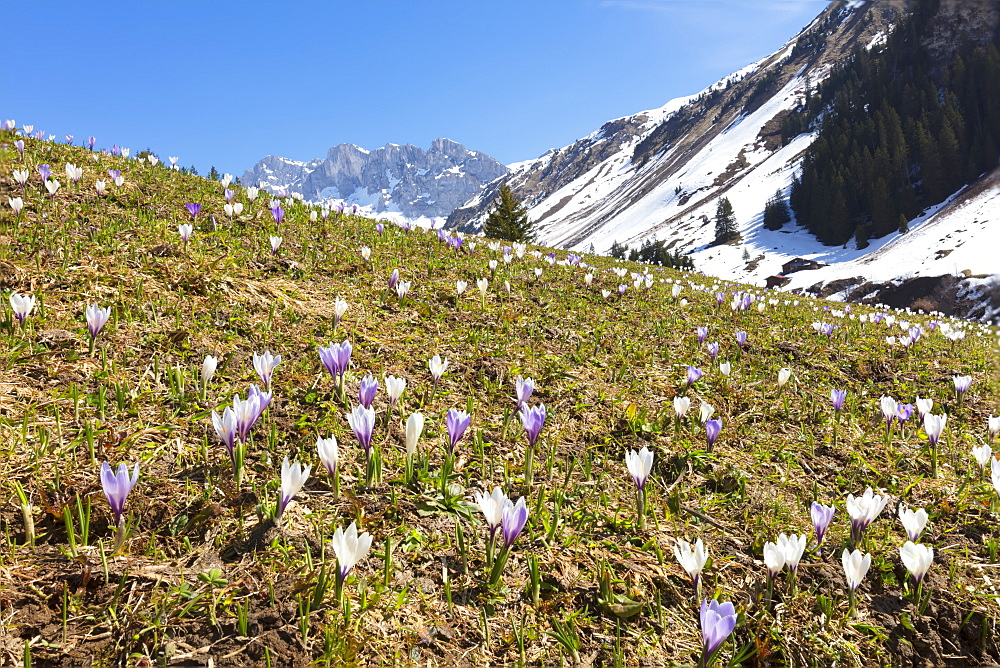 Crocus flowers in bloom, Partnun, Prattigau, Davos, canton of Graubunden, Switzerland, Europe