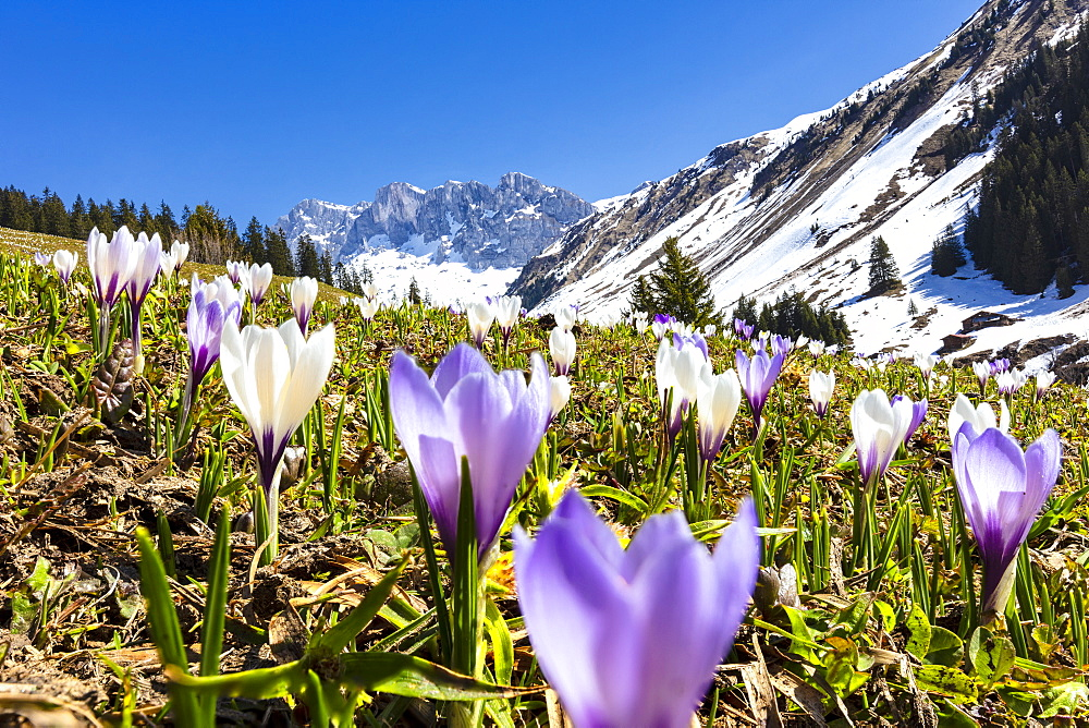 Close-up of crocus flowers in bloom, Partnun, Prattigau, Davos, canton of Graubunden, Switzerland, Europe