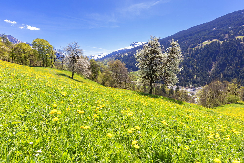 Yellow wildflowers on grass fields in spring, Luzein, Prattigau-Davos region, canton of Graubunden, Switzerland, Europe