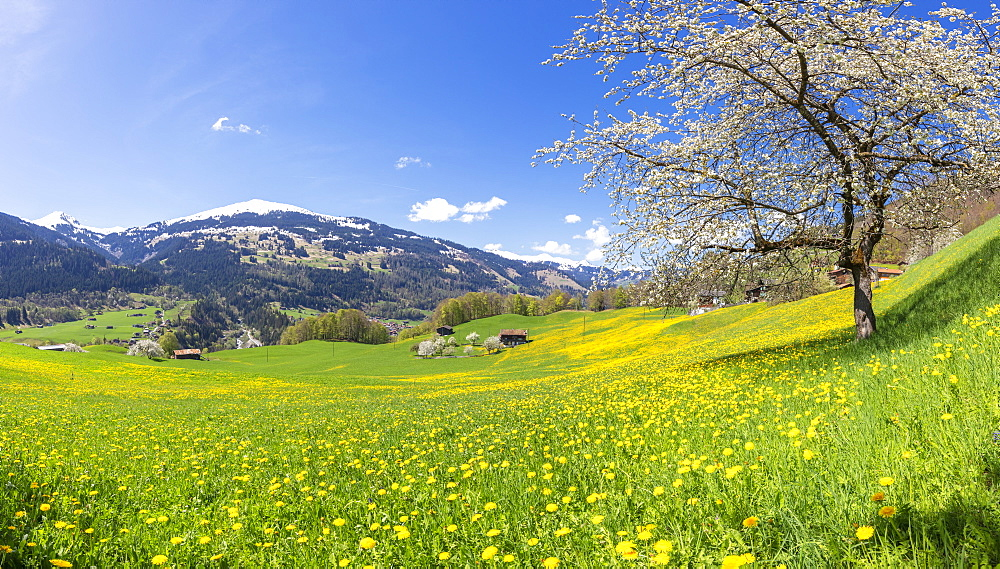 Panoramic of green meadows and wildflowers in spring, Luzein, Prattigau-Davos region, Canton of Graubunden, Switzerland, Europe