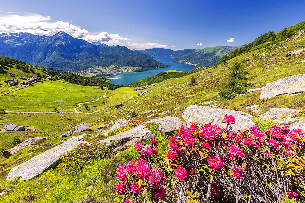Rhododendrons on Monte Berlinghera with Alpe di Mezzo and Alpe Pesceda in the background, Sondrio province, Lombardy, Italy, Europe