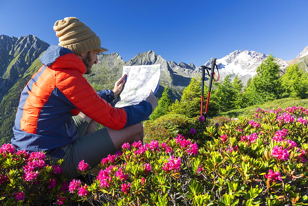 Hiker surrounded by rhododendrons looks at map, Scermendone Alp, Sondrio province, Valtellina, Rhaetian Alps, Lombardy, Italy, Europe