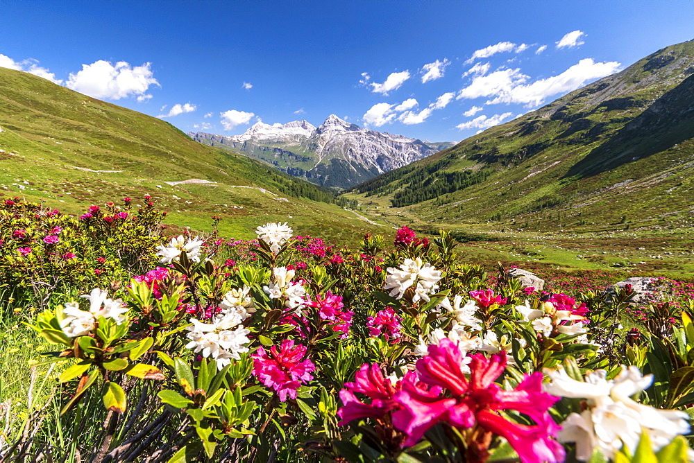 White and fuchsia coloured rhododendrons, Spluga Pass, canton of Graubunden, Switzerland, Europe