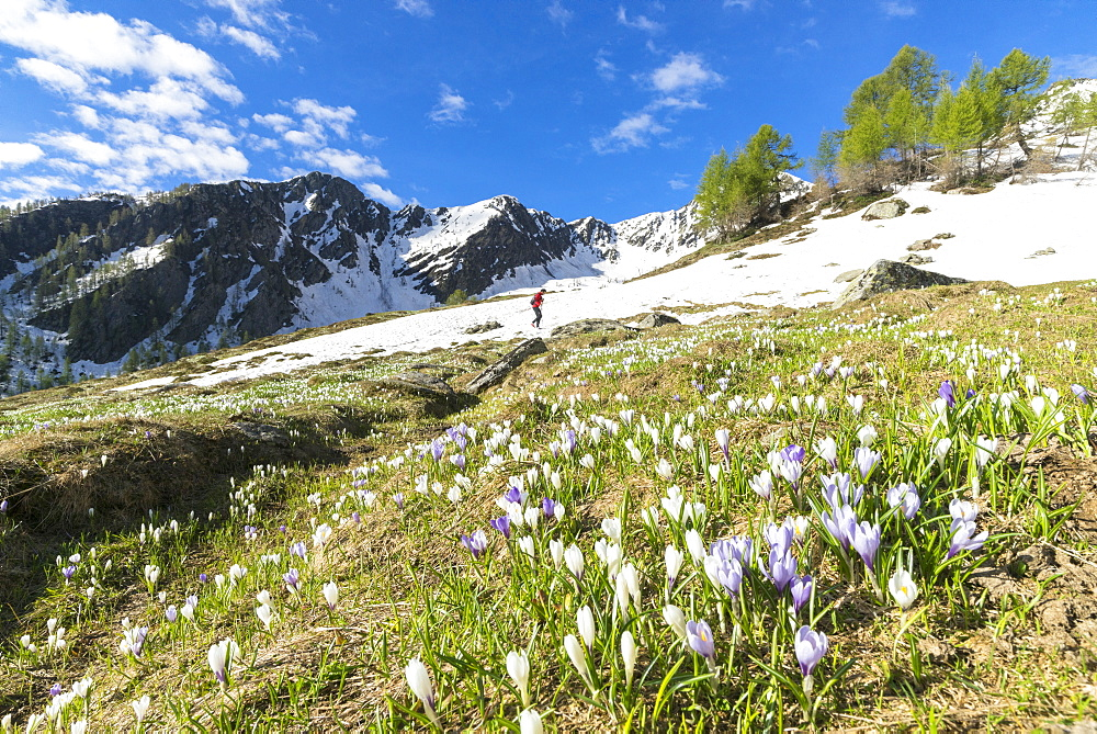 Snowy peaks and crocus flowering in spring, Casera di Olano, Valgerola, Valtellina, Sondrio province, Lombardy, Italy, Europe