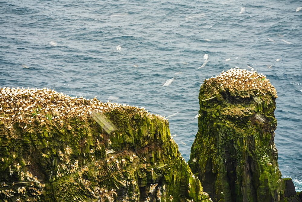 Colony of Northern Gannets (Morus bassanus), Mykines island, Faroe Islands, Denmark, Europe