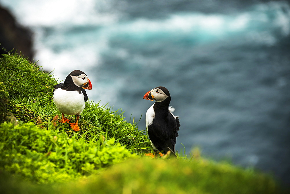 Couple of Atlantic puffins on cliff, Mykines island, Faroe Islands, Denmark, Europe - 1179-3661