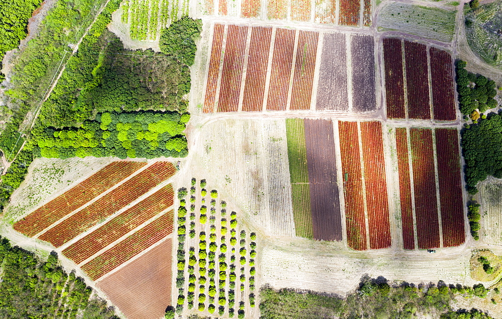 Cultivated fields and fig tree forest from above by drone, Pinefield Plantation, Antigua, Leeward Islands, West Indies, Caribbean, Central America