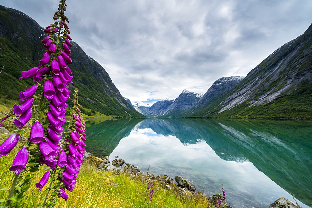 Wild flowers on shores of Jolstravatnet lake under storm clouds, Jolster, Sogn og Fjordane county, Western Norway, Scandinavia, Europe