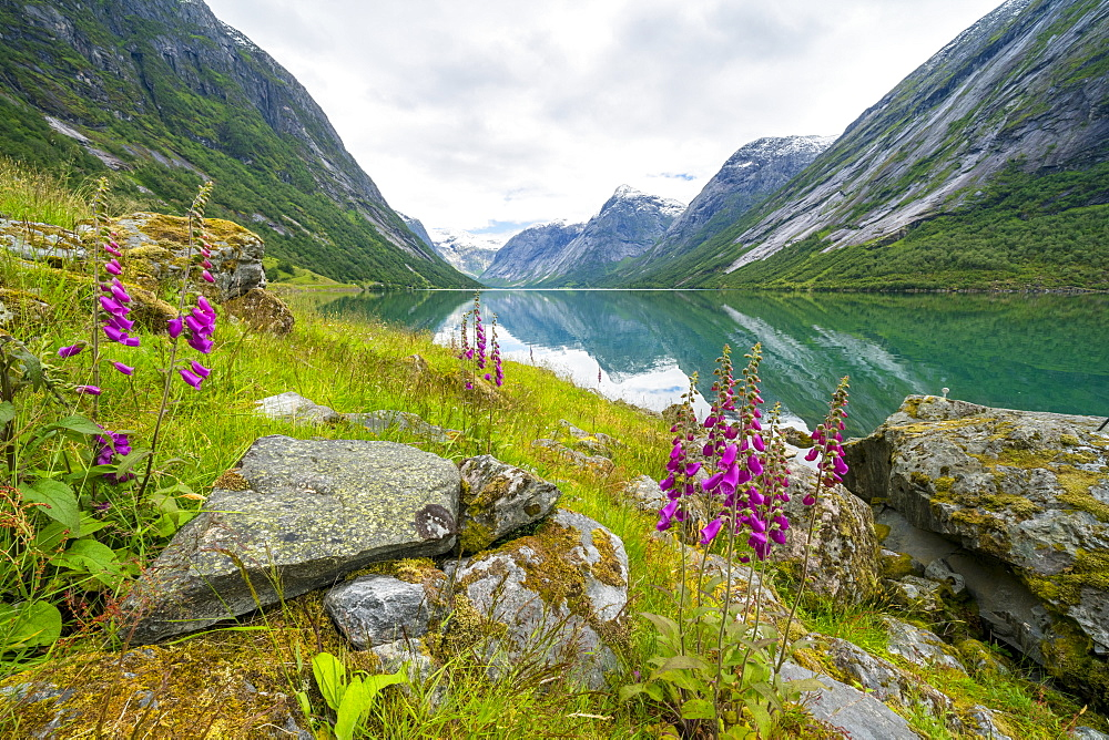 Wild flowers on shores of Jolstravatnet lake, Jolster, Sogn og Fjordane county, Western Norway, Scandinavia, Europe