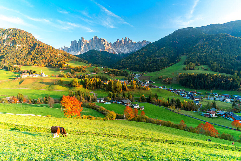 Cows grazing in the autumn landscape with the Odle peaks on background, Santa Magdalena, Funes, Dolomites, South Tyrol, Italy