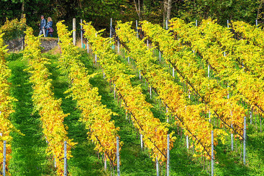 Rows of vineyards in autumn, Spiez, canton of Bern, Switzerland