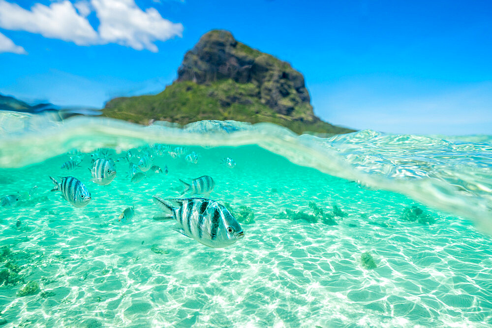 Tropical fish swimming on coral reef in the tropical lagoon, Le Morne Brabant, Black River district, Indian Ocean, Mauritius