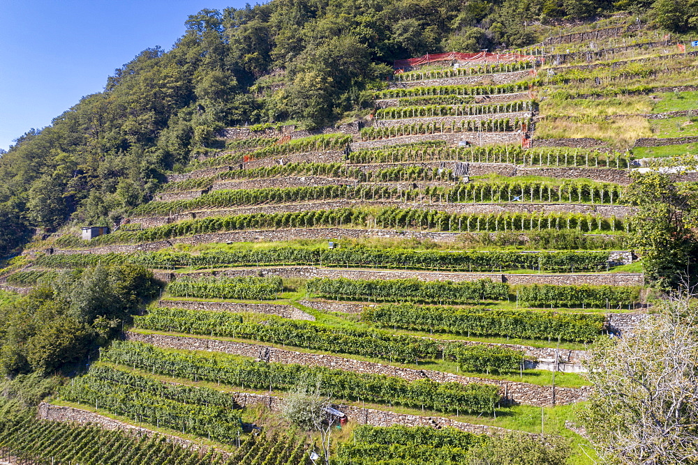 Terraced vineyards, Costiera dei Cech, Valtellina, Sondrio province, Lombardy, Italy, Europe