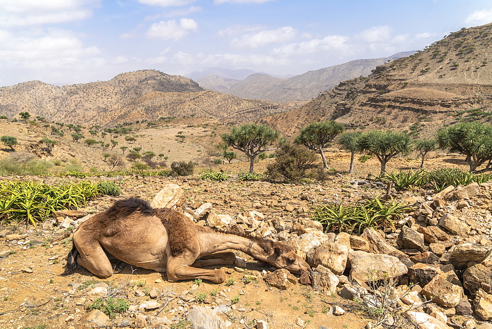 Camel resting in the desert, Dallol, Danakil Depression, Afar Region, Ethiopia, Africa