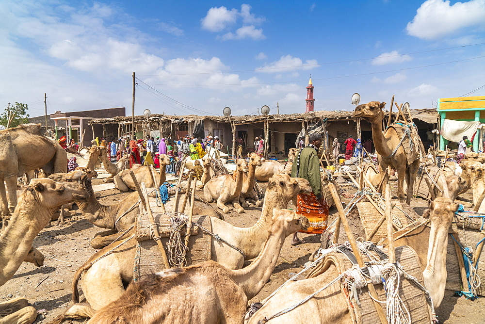 Camels at the cattle market, Asaita, Afar Region, Ethiopia, Africa
