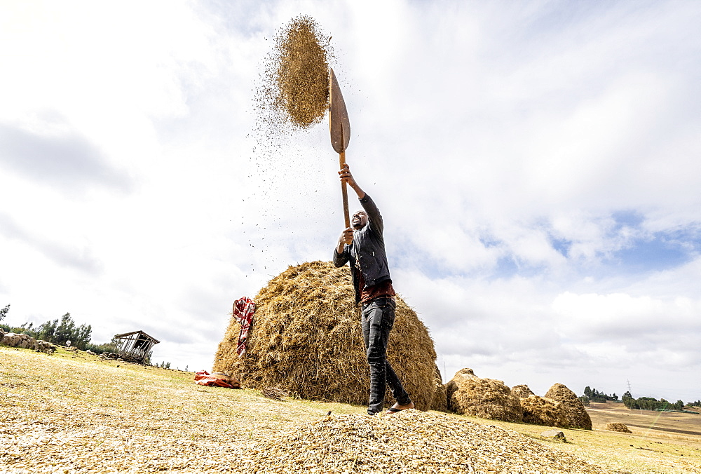 Farmer throwing wheat up in the air during threshing, Wollo Province, Amhara Region, Ethiopia, Africa