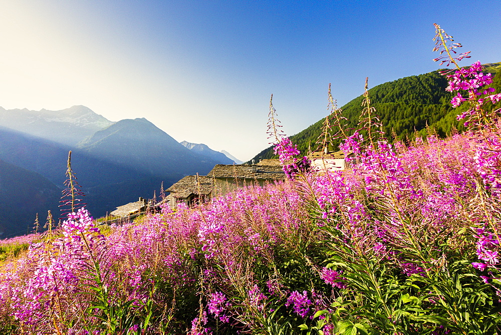Colorful Willowherb (epilobium) in bloom, Starleggia, Campodolcino, Valchiavenna, Valtellina, Lombardy, Italy, Europe