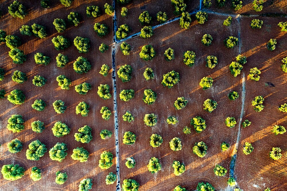Olive groves from above, aerial view, Apulia, Italy, Europe - 1179-5000