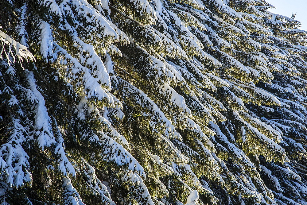 Branches of trees covered with snow after a heavy snowfall, Gerola Valley, Valtellina, Orobie Alps, Lombardy, Italy, Europe