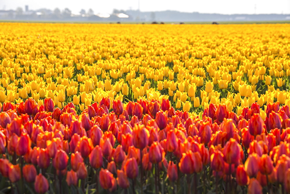 The colourful tulip fields in spring, Berkmeer, Koggenland, North Holland, Netherlands, Europe