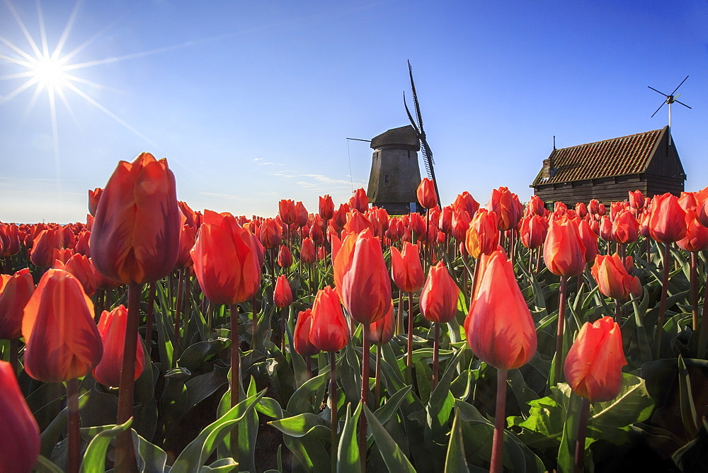 Red tulips in foreground and blue sky frame the windmill in spring, Schermerhorn, Alkmaar, North Holland, Netherlands, Europe - 1179-951
