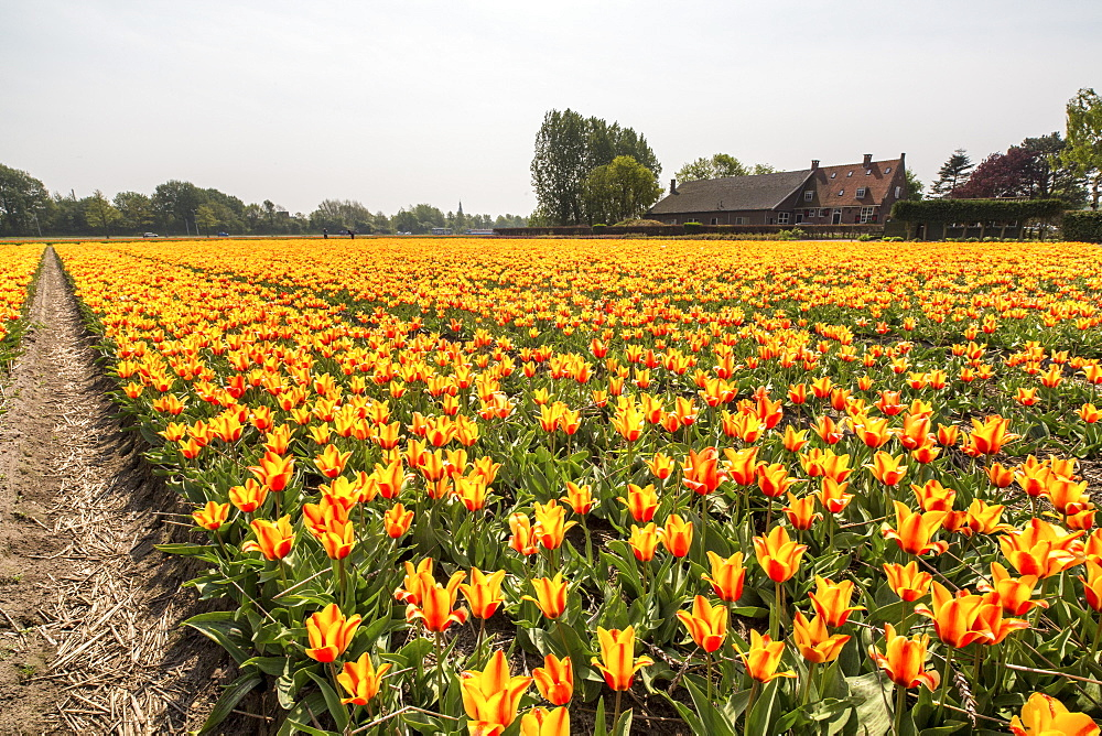The yellow and orange tulips colour the landscape in spring, Keukenhof Park, Lisse, South Holland, Netherlands, Europe