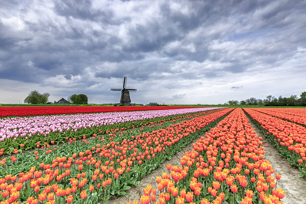 Dark clouds over fields of multicolored tulips and windmill, Berkmeer, Koggenland, North Holland, Netherlands, Europe