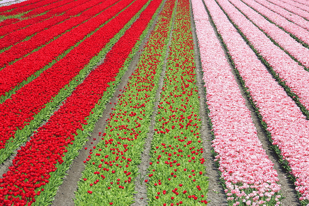The colorful tulip fields in spring, Berkmeer, Koggenland, North Holland, Netherlands, Europe