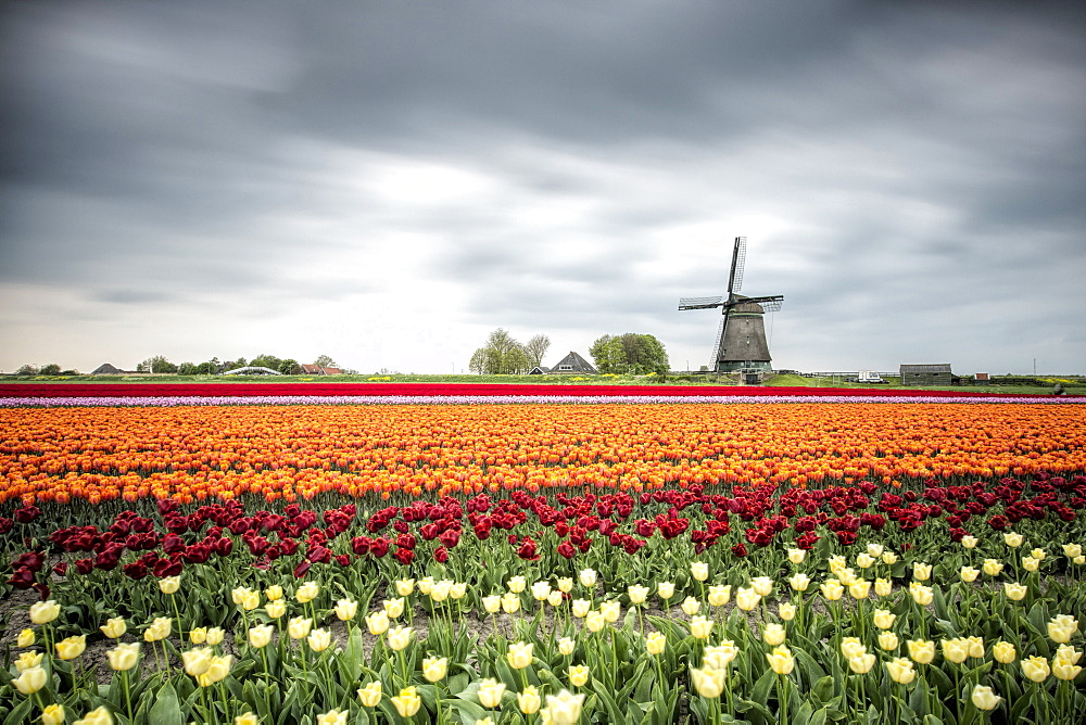 Spring clouds over fields of multicolored tulips and windmill, Berkmeer, Koggenland, North Holland, Netherlands, Europe - 1179-966