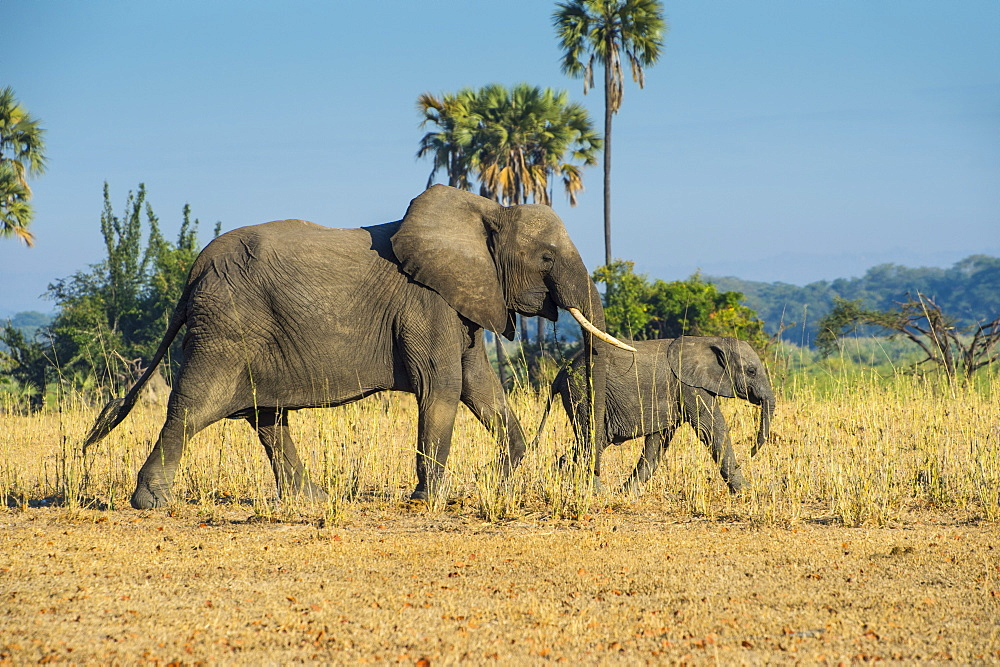 African bush elephant (Loxodonta africana) mother with calf, Liwonde National Park, Malawi, Africa