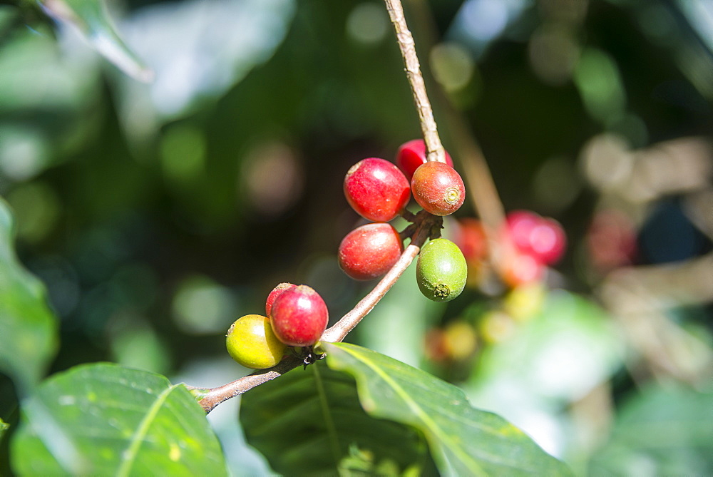 Coffee plants, Coffea arabica, Aileu, East Timor, Southeast Asia, Asia