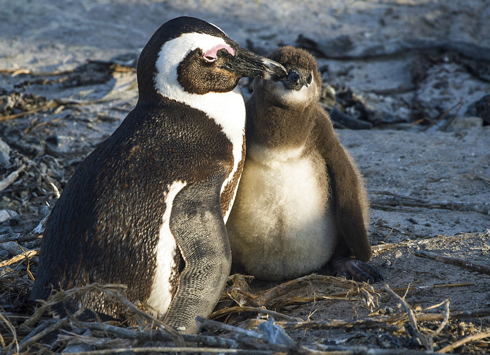 African penguins (jackass penguins) (Spheniscus demersus), Boulders Beach, Cape of Good Hope, South Africa, Africa