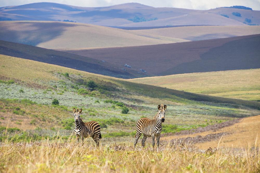 Plains zebras (Equus quagga), Nyika National Park, Malawi, Africa