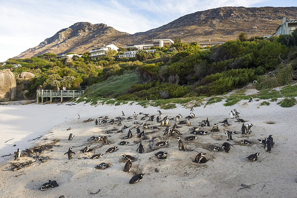 Mother and baby African penguin (jackass penguin) (Spheniscus demersus) colony, Boulders Beach, Cape of Good Hope, South Africa, Africa