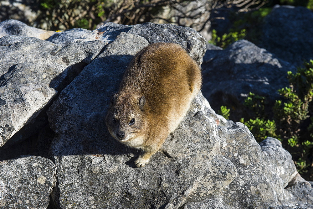 Rock hyrax (Procavia capensis) (dassie), Table Mountain, Cape Town, South Africa, Africa