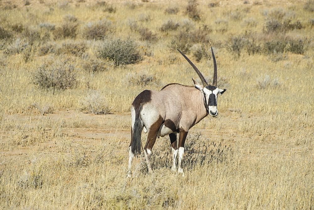 Oryx, Kalahari Transfrontier Park, South Africa, Africa