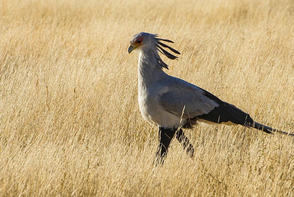 Secretary bird (Sagittarius serpentarius), Kalahari Transfrontier Park, South Africa, Africa