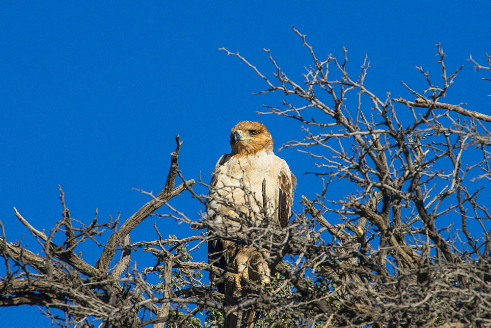 Martial eagle (Polemaetus bellicosus), Kalahari Transfrontier Park, South Africa, Africa
