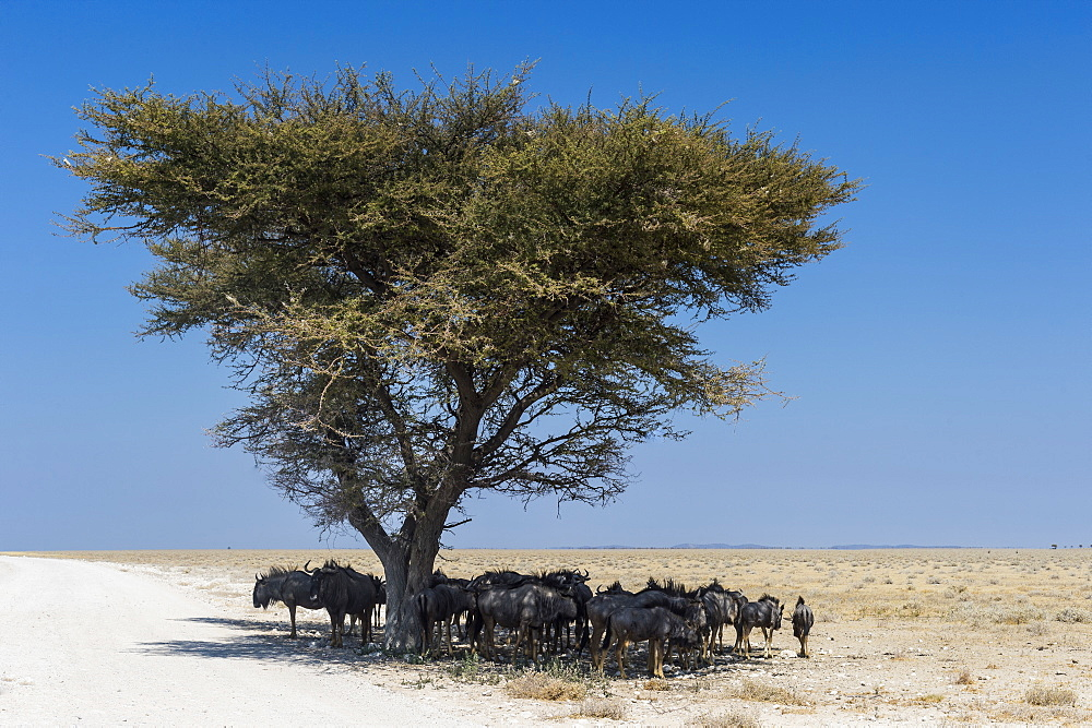 Wildebeests under an acacia tree in the Etosha National Park, Namibia, Africa