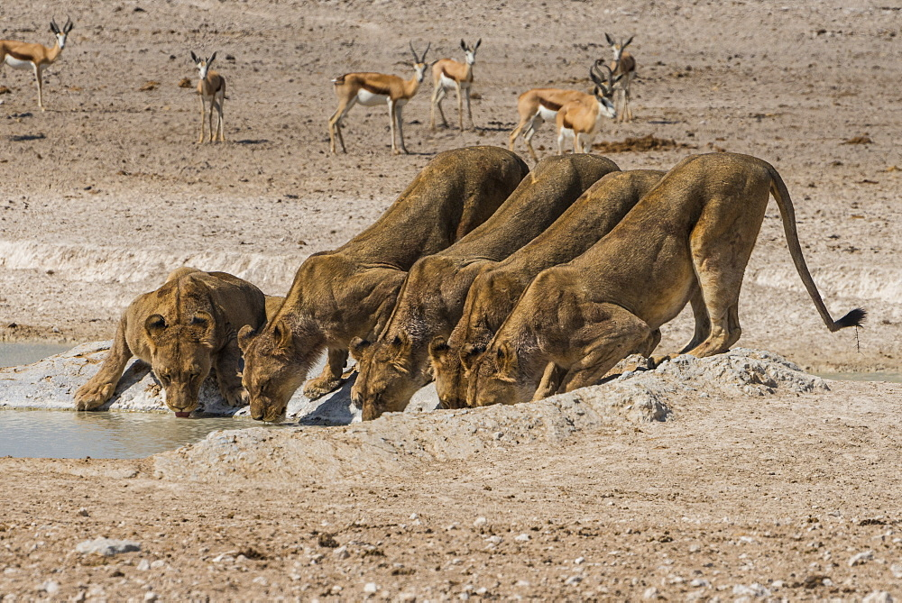 Lions (Panthera leo) on a waterhole in the Etosha National Park, Namibia