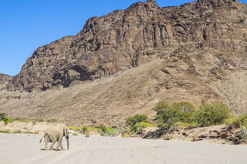 Desert elephant (African bush elephant) (Loxodonta africana), Khurab Reserve, northern Namibia, Africa