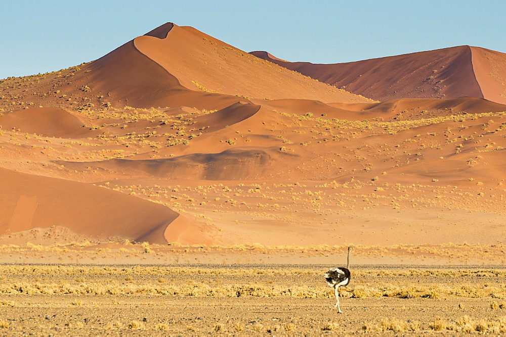 Ostrich wandering in front of a giant sand dune, Sossusvlei, Namib-Naukluft National Park, Namibia, Africa