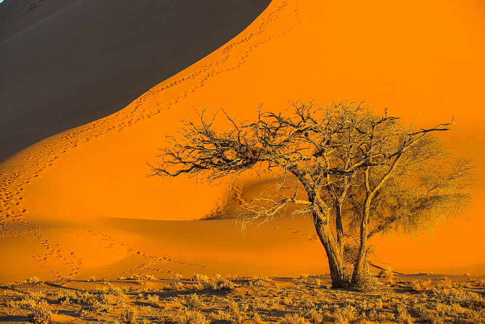 Acacia tree below the giant Sand Dune 45, Sossusvlei, Namib-Naukluft National Park, Namibia, Africa