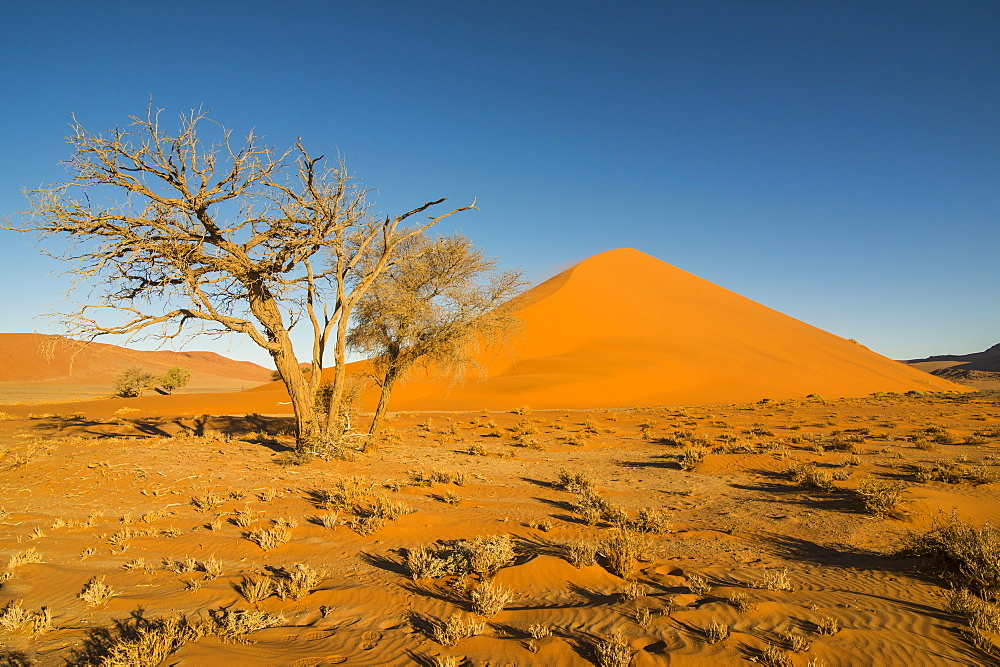 Acacia tree in front of the giant Sand Dune 45, Sossusvlei, Namib-Naukluft National Park, Namibia, Africa