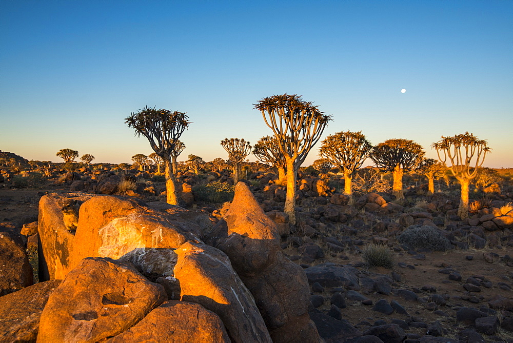 Quiver tree forest (Aloe dichotoma) at sunset, Gariganus farm, Keetmanshoop, Namibia, Africa