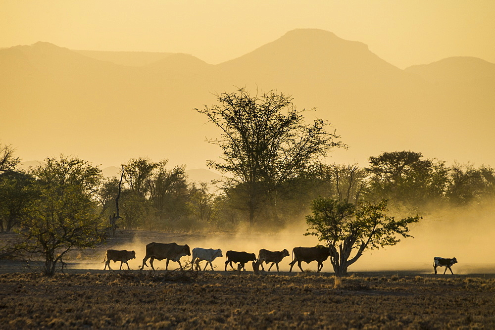 Backlight of cattle on way home at sunset, Twyfelfontein, Damaraland, Namibia, Africa