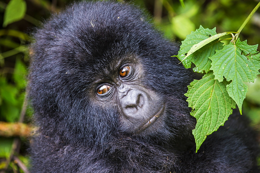 Young mountain gorilla (Gorilla beringei beringei) in the Virunga National Park, UNESCO World Heritage Site, Democratic Republic of the Congo, Africa
