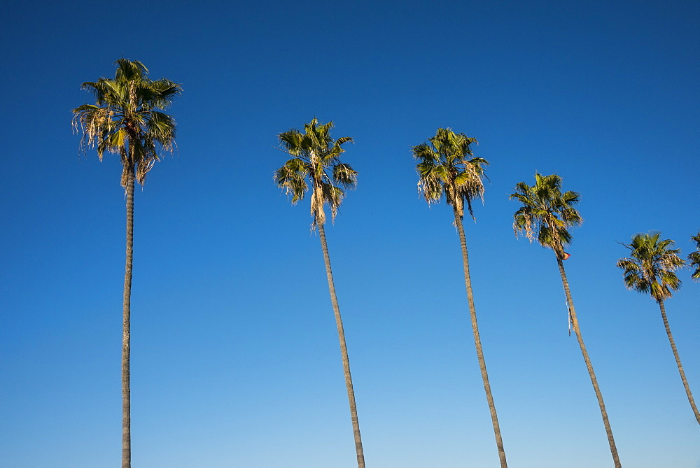 Palm trees on the beach of La Jolla, California, United States of America, North America